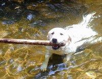 pies pływający w wodzie