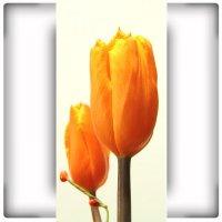 naklejki - tulipany